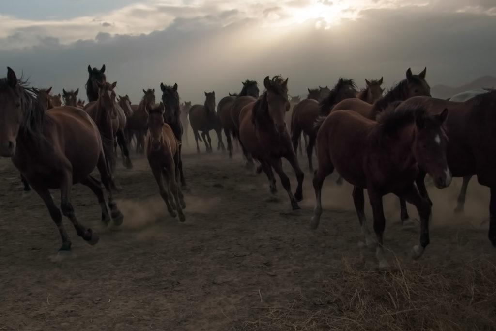 www.hakanaydın.com.tr ÇekerGezeR Hakan Aydın Yılkı Atları