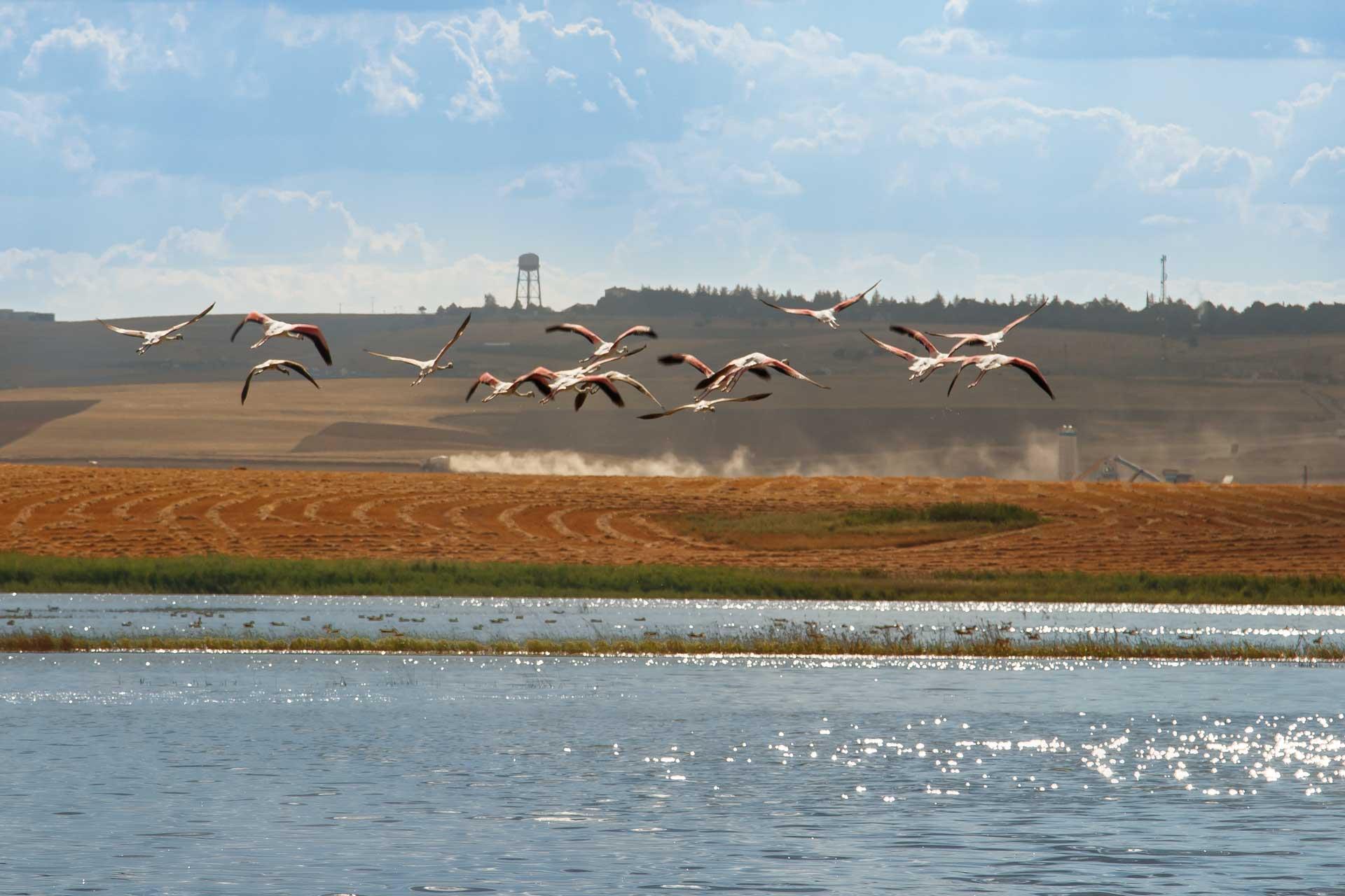 Ankara'da Flamingolar Flamingo Fotoğrafları Çekergezer Hakan Aydın Fotoğrafları Flamingo Resimleri