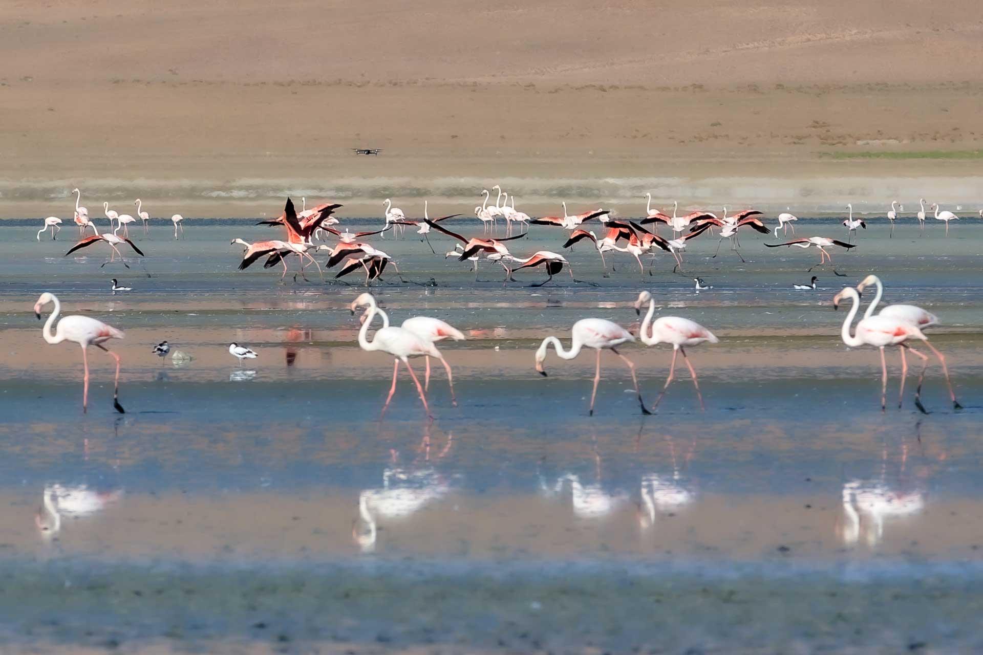 Flamingo Fotoğrafları Çekergezer Hakan Aydın Fotoğrafları Flamingo Resimleri