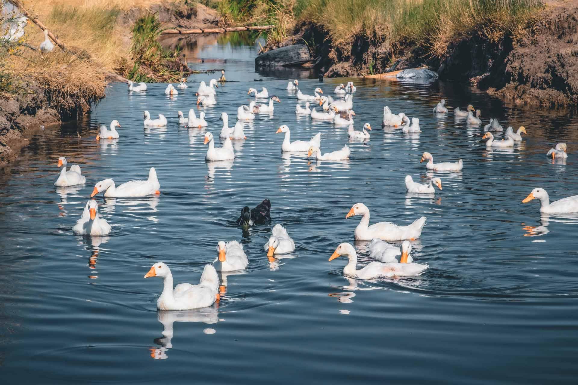 Nehirde yüzen evcil kazlar ve yavruları